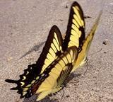 Butterflies List
