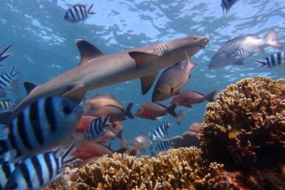 Volunteer Shark Conservation in Fiji with Projects Abroad