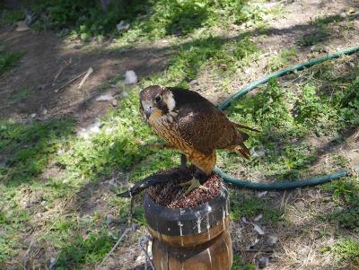 Un faucon se repose sur un perchoir dans un centre de sauvetage et desoins au Mexique, en Amérique latine