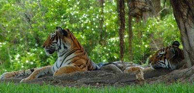 Photo de deux tigres du Bengale, espèce classée en voie de disparition depuis 2010