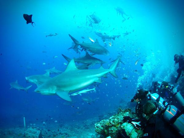 Les volontaires au sein du projet de préservation des requins aux Fidji entrain de recueillir des informations sur les requins et sur d'autres animaux marins lors d'une plongée.