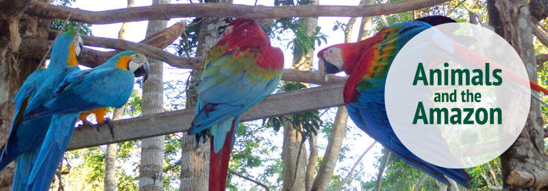 Parrots cared for by Projects Abroad volunteers at the Conservation Project, in Peru.