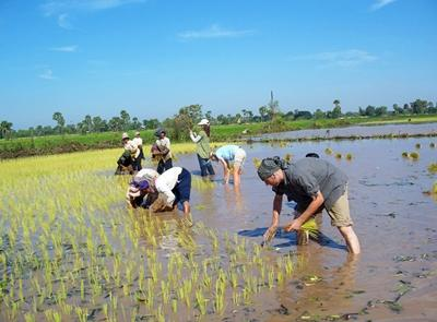 Projects Abroad volunteers harvest rice with locals on the Khmer project, Cambodia.
