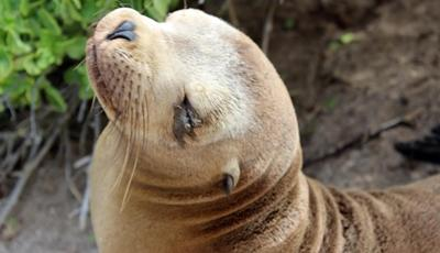 Sea lion on the Galapagos Islands, Ecuador.