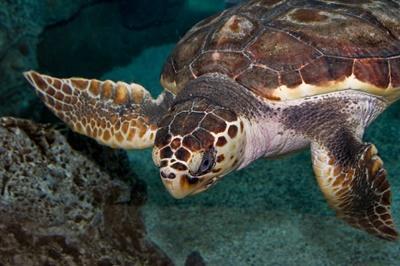 A leatherback turtle in Mexico, North America