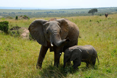 Two elephants at a national park in Tanzania, Africa