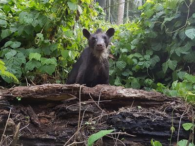 On our Conservation in Peru Alternative Spring Break trips volunteers care for rescued animals like endangered spectacled bears