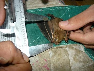 A Projects Abroad volunteer measures a bat before releasing it at the Conservation Project in Costa Rica.