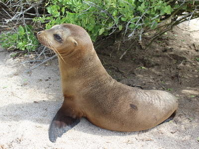 Photo of a sea lion on a beach in Ecuador.