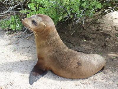 A sea lion resting on a beach in the Galapagos Islands, Ecuador.