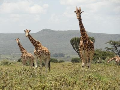 A herd of giraffes observed by Projects Abroad volunteers at the Conservation Project in Kenya, East Africa.