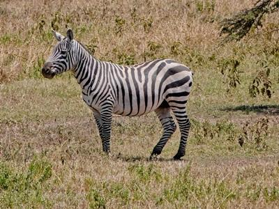 A zebra observed by volunteers at the Conservation project in Kenya with Projects Abroad.