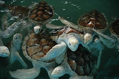 Rescued turtles swim in a tank during their recovery at the Conservation Project in Mexico.