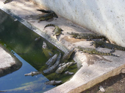 Volunteer with Crocodiles in Mexico with Projects Abroad