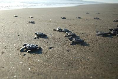 Turtle hatchlings released by Projects Abroad volunteers crawl across the sand to the ocean in Mexico.