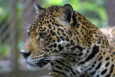 A wild jaguar spotted in the Amazon Rainforest by Projects Abroad Conservation volunteers in Peru.