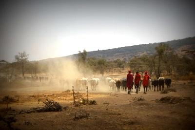 Members of the Maasai community herd cattle outside their village in Tanzania, East Africa.