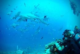Volunteers on the Grown-Up Shark Conservation Project in Fiji observe sharks during a dive.