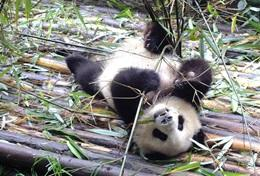 On the Care & Panda Protection High School Special in China, volunteers work to help preserve pandas.