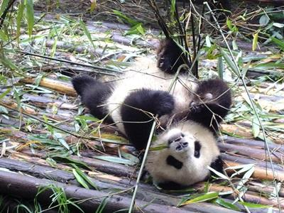 A baby panda eats bamboo at the sanctuary where High School Special volunteers work in China.