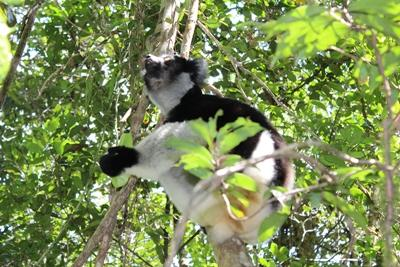 A lemur spotted high up in the trees by Projects Abroad volunteers at the Conservation Project  in Madagascar.