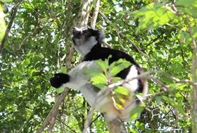 A lemur is spotted on the High School Special Conservation & Community Project in Madagascar.