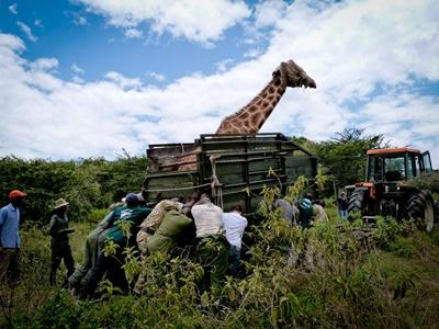 Projects Abroad volunteers help transport a giraffe at a wildlife reserve in Kenya at the Conservation High School Special.