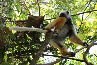 One of many different species of lemurs inhabiting the island of Madagascar.