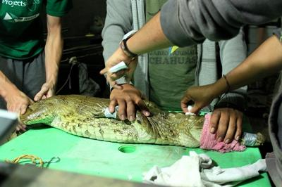 A professional veterinarian treats a crocodile in Peru with the help of Projects Abroad interns.