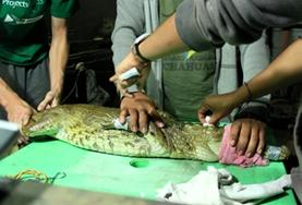 A professional vet volunteering in Peru helps treat an injured wild animal at a rescue centre.