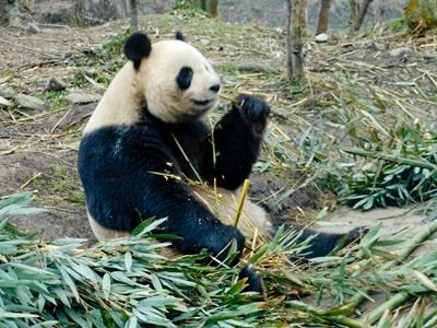 Volunteers work to protect pandas in the wild in China with Projects Abroad