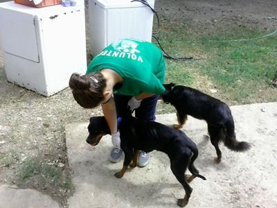 Projects Abroad Animal Care volunteer works with dogs at a rescue center in Jamaica