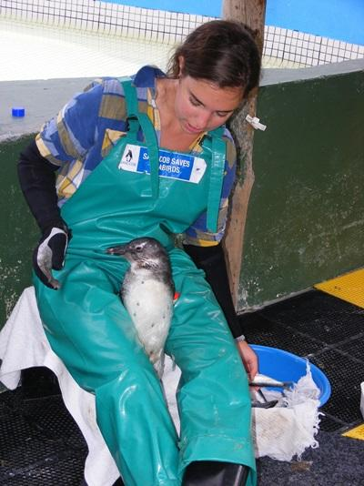Volunteer does medical examination on a penguin in South Africa