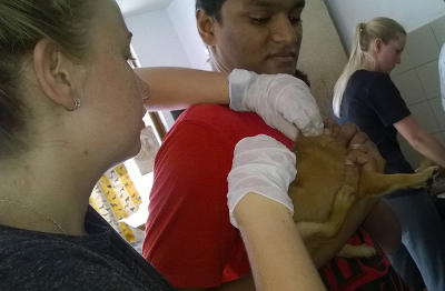 Projects Abroad Veterinary Medicine intern helps treat an injured dog at a Sri Lankan animal clinic.
