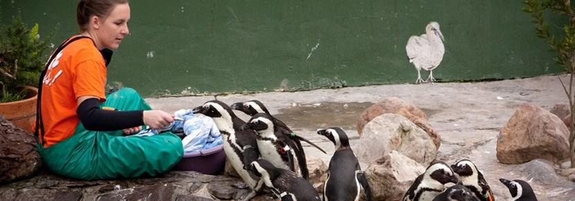 Volunteer treats penguins in an animal center in Cape Town, South Africa