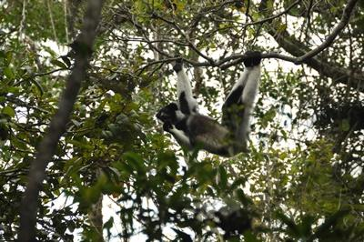 A lemur swings from branch to branch at a national park located near Andasibe in Madagascar.